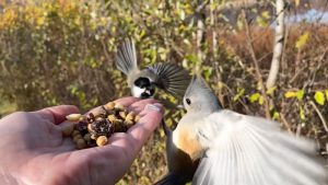 Tufted Titmice & Black-capped Chickadee