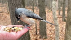 Tufted Titmouse & Red-bellied Woodpecker