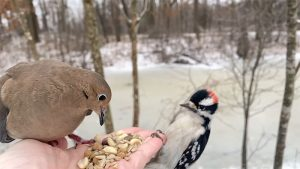 Mourning Dove And Downy Woodpecker