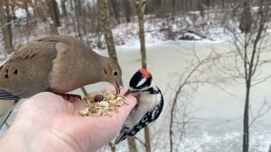 Mourning Dove & Downy Woodpecker