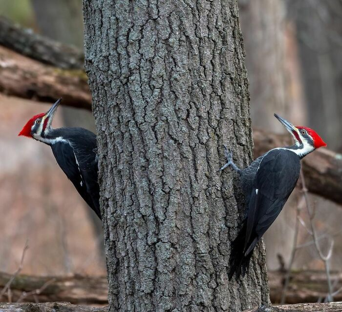 Pileated Woodpeckers.