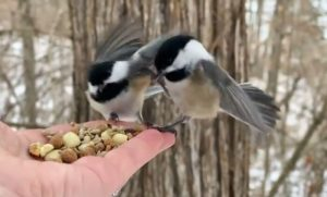 Black-Capped Chickadees and a Tufted Titmouse