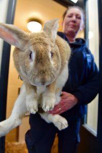 Flemish big rabbit