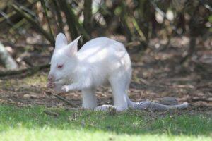 Albert-the-Albino-Kangaroo
