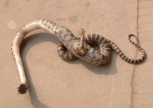 Snake with a foot
