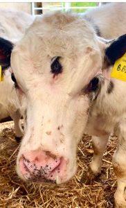 Three-eyed-calf-