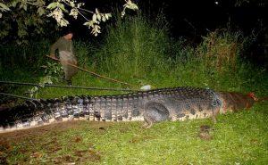 World's biggest killer crocodile