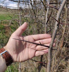 Honey locust in the United States.