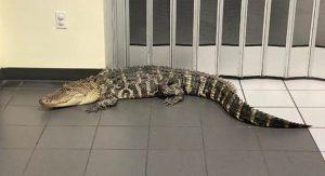 crocodile visits Florida post office