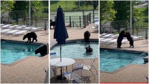 Bears in the pool party
