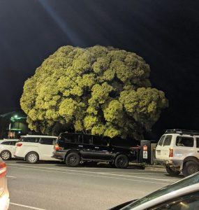 giant broccoli tree