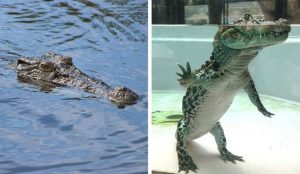 crocodile's actual appearance inside the water
