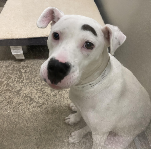 dog with single eyebrow