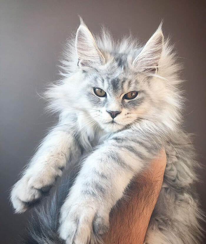 The most beautiful Maine Coon kittens waiting to grow