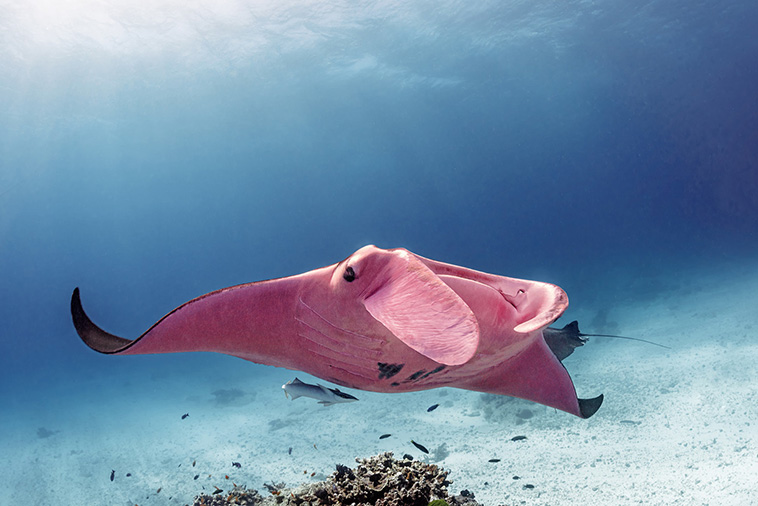 Underwater Photos Of The Only Known Pink Rose Manta Ray