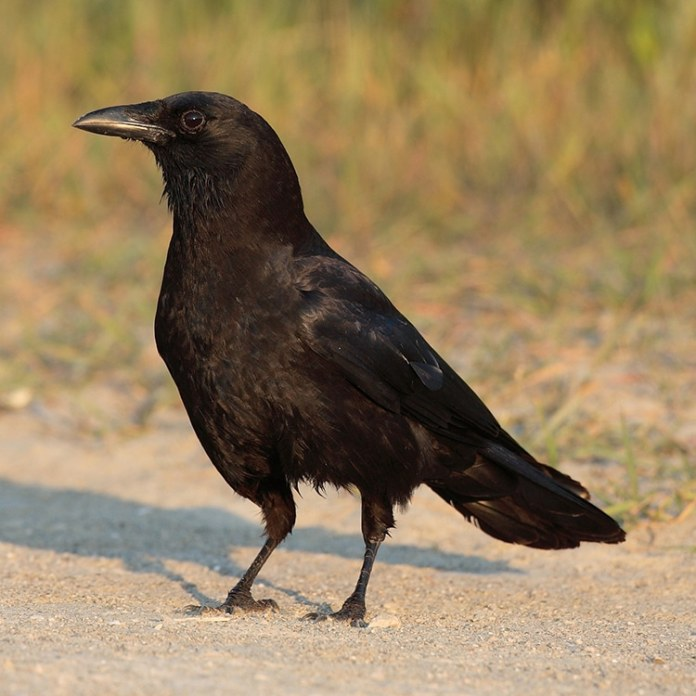 Intelligent birds, crows can understand the concept of zero.