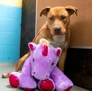 Homeless-pit-bull-who-tried-several-times-to-steal-a-stuffed-unicorn-in-a-store-gets-the-toy-and-a-new-chance-to-be-happy