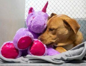 pitbull and his purple unicorn