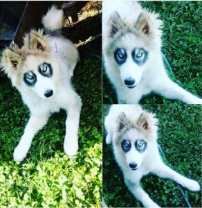 My sister's puppy has a unique fur pattern that makes it look like she has glasses.