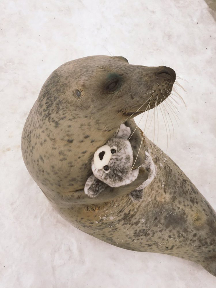 A Rescued Earless Seal Finds Toy Version Of Itself & He Loves It