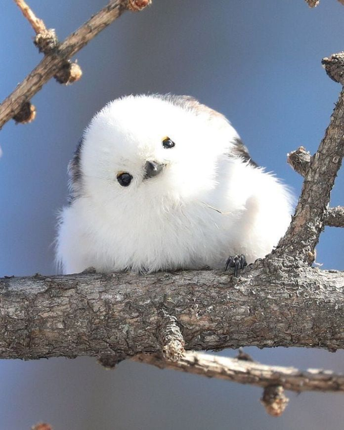 Japanese Bird That Looks Like A Flying Cotton Flower
