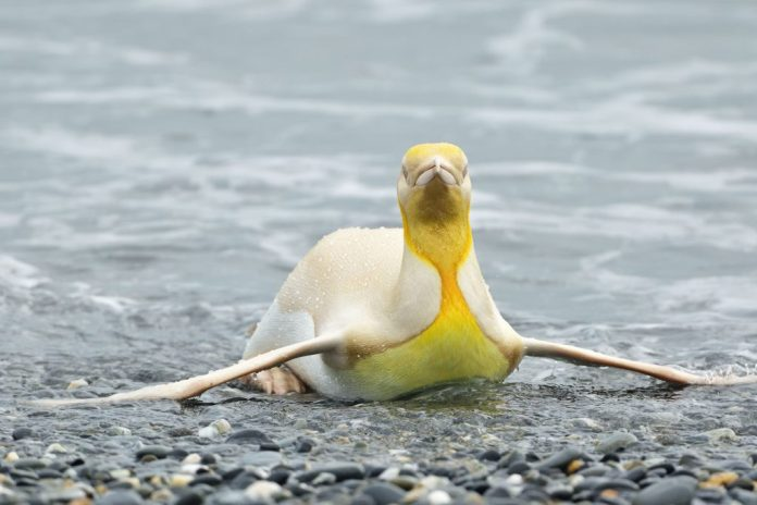 An Amazing Yellow Penguin Captured By A Photographer