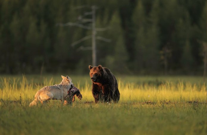 A Photographer Captures A Bear And Wolf Duo