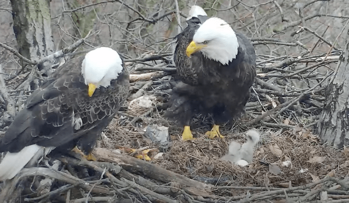 Two Eagle Hatchings In The Same Day