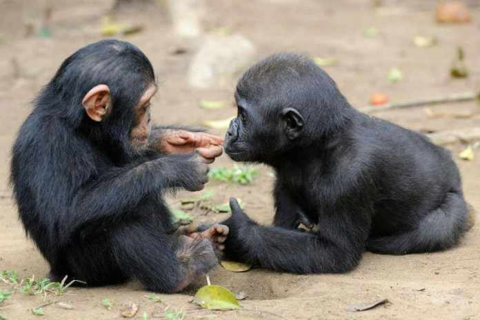 Special Primate Friendship: Two Friends Photographed