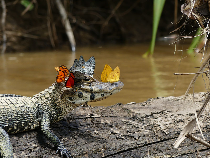 In the Amazon, a Cayman wearing a butterfly crown was captured by a photographer.
