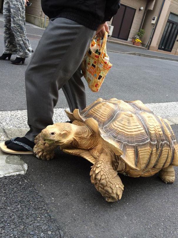 A Patient pet Owner Walks His Big Tortoise Across The Streets Of Tokyo.