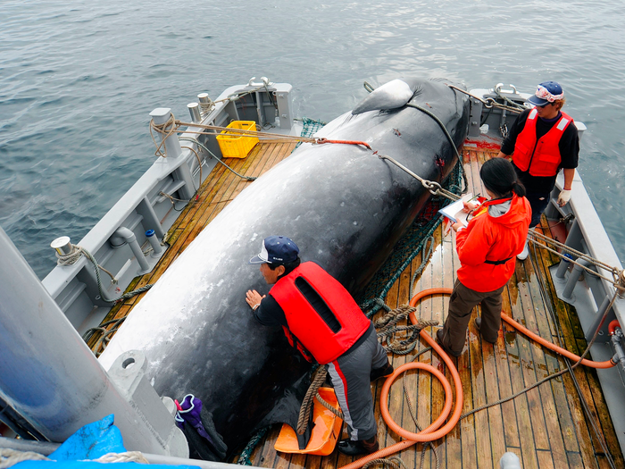 Japan has announced that commercial whaling will resume.