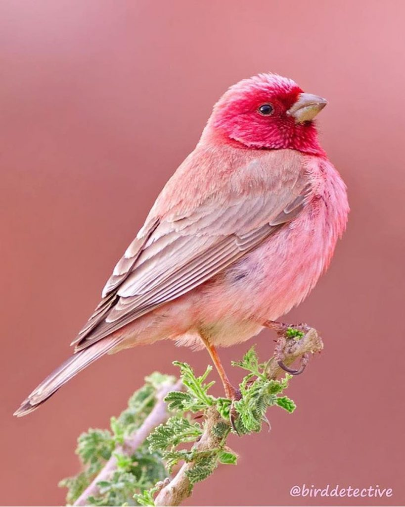 Pink Rosefinches: Beautiful Bird With A Beautiful Colour