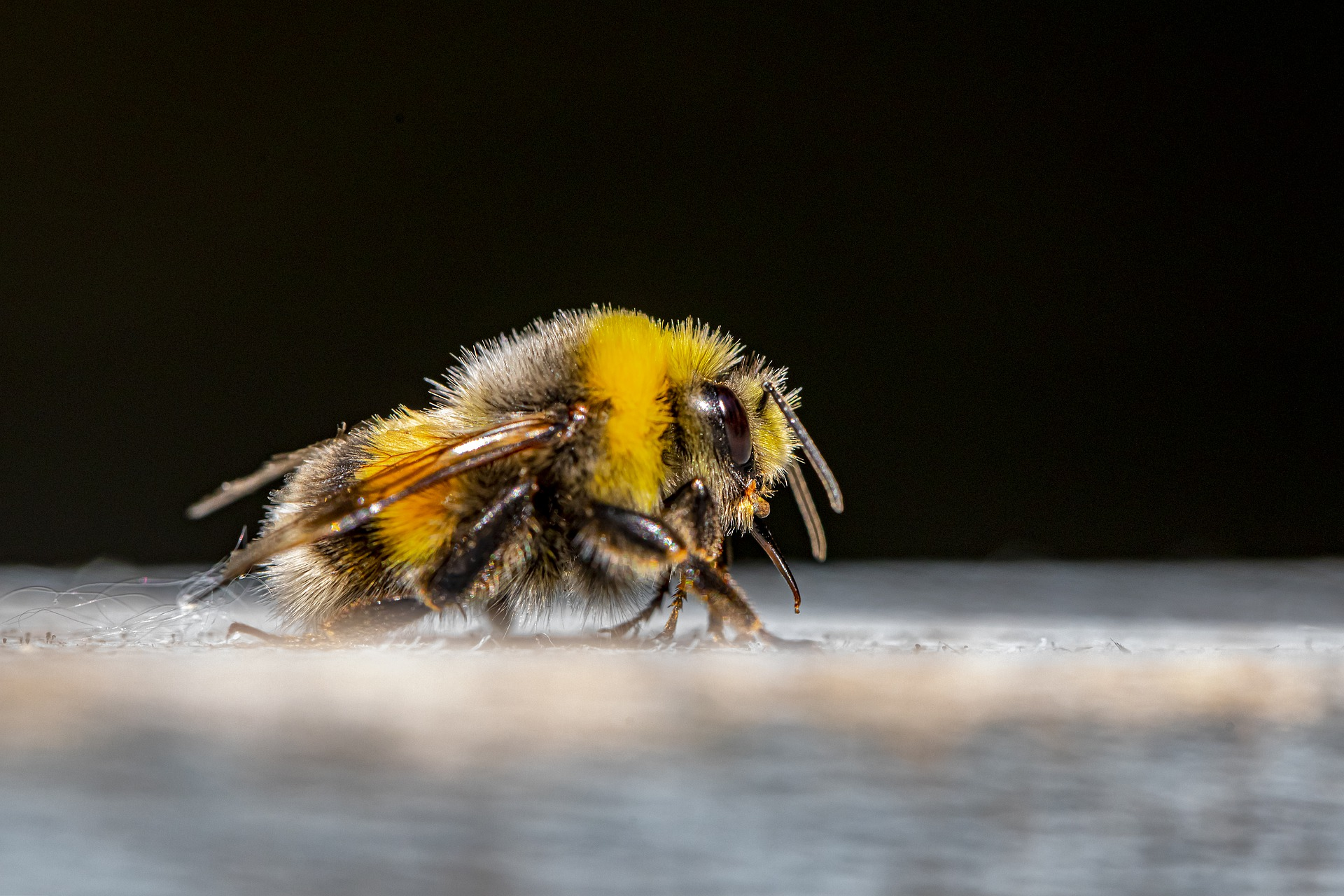 It's Official! Rusty bumblebees are endangered.