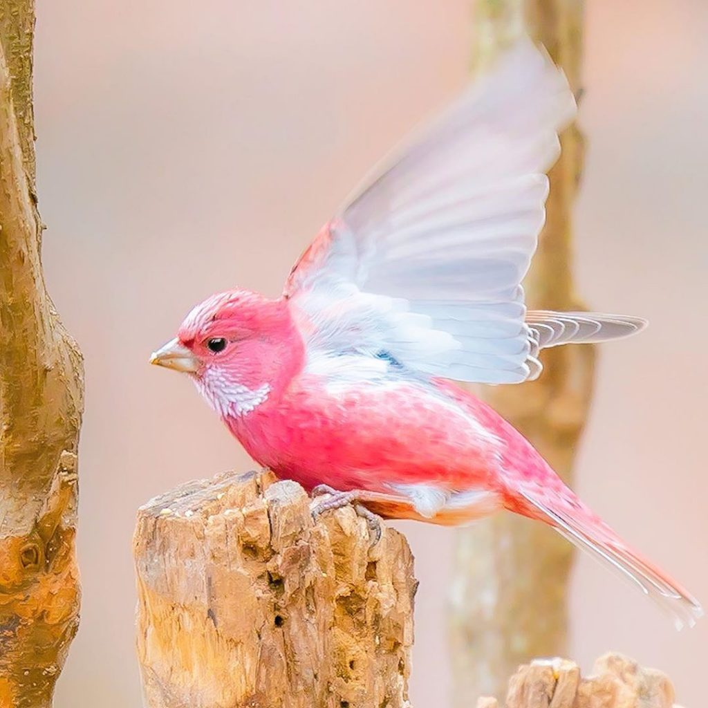 Pink Rosefinches