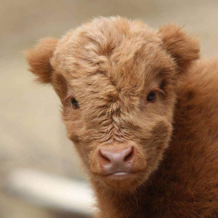 Take a Look At These Adorable Highland Cattle Calves Photos